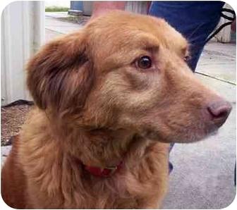 Rescue golden retrievers jacksonville florida