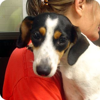 Dachshund/Beagle Mix Dog for adoption in Greencastle, North Carolina - Mindy