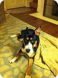 Border Collie/Collie Mix Dog for adoption in CHAMPAIGN, Illinois - NINA