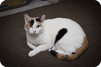 Calico Cat for adoption in Chicago, Illinois - Violet