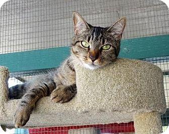 Domestic Shorthair Cat for adoption in Lathrop, California - Thelma