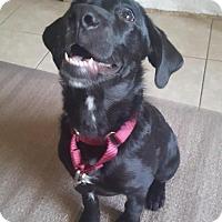 Labrador Retriever Puppy for adoption in Riverside, California - Zoey