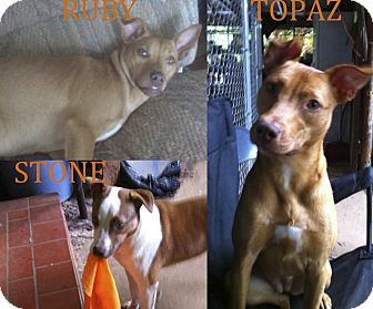 American Pit Bull Terrier Mix Dog for adoption in Killen, Alabama - Topaz