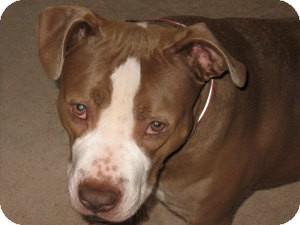 Pit Bull Terrier Mix Dog for adoption in Bellingham, Washington - Rosarita