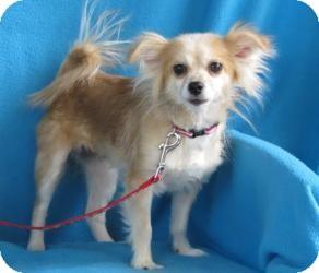 Papillon/Chihuahua Mix Dog for adoption in Minneapolis, Minnesota - Mahalia
