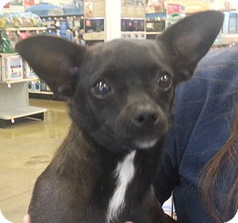 Chihuahua Mix Dog for adoption in Orlando, Florida - Nadine