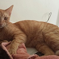 Adopt A Pet :: Patrick - Cerritos, CA