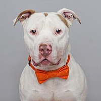 American Staffordshire Terrier Mix Dog for adoption in Mission Hills, California - Zerkseies