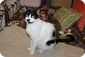 Domestic Shorthair Cat for adoption in The Woodlands, Texas - Sienna