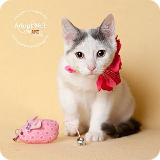 Domestic Shorthair Cat for adoption in Houston, Texas - China Doll