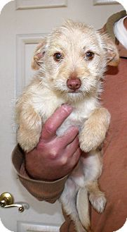 Cairn Terrier/Terrier (Unknown Type, Small) Mix Puppy for adoption in Corona, California - MAX