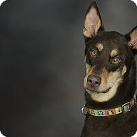 Adopt A Pet :: Duke - Anchorage, AK