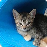 Adopt A Pet :: Tiramisu - Umatilla, FL