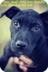American Staffordshire Terrier Mix Dog for adoption in Justin, Texas - Tyson