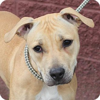 Pit Bull Terrier Mix Dog for adoption in Springfield, Illinois - Keely