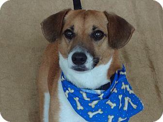 Jack Russell Terrier/Corgi Mix Dog for adoption in Princeton, Kentucky - Yogi