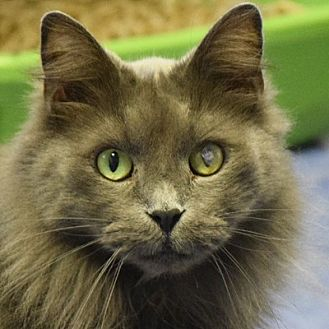 Maine Coon Cat for adoption in Huntley, Illinois - Leeland