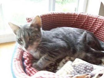 Domestic Shorthair Cat for adoption in Kelso/Longview, Washington - Saturn
