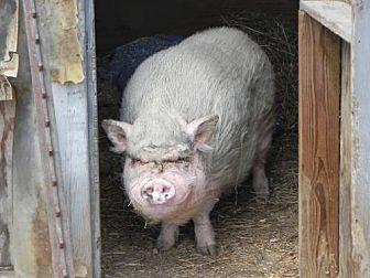 Pig (Potbellied) for adoption in Woodstock, Illinois - Gomer
