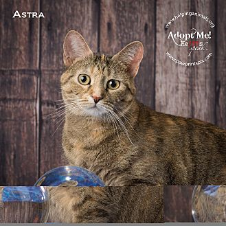 Domestic Shorthair Cat for adoption in St. Charles, Illinois - Astra