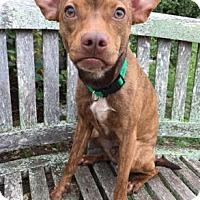 Italian Greyhound/Whippet Mix Dog for adoption in Fredericksburg, Texas - Rex
