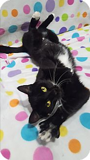 Domestic Shorthair Cat for adoption in Port Huron, Michigan - Willow