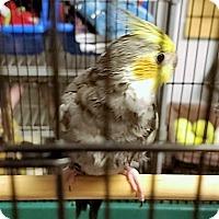 Adopt A Pet :: Ozzie - Lenexa, KS