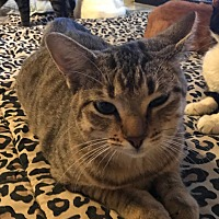 Domestic Shorthair Cat for adoption in Lauderhill, Florida - Peanut