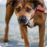 Shepherd (Unknown Type)/Labrador Retriever Mix Dog for adoption in Southern Pines, North Carolina - Gigi