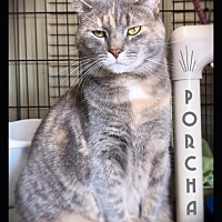 Adopt A Pet :: Porcha - Hartford City, IN