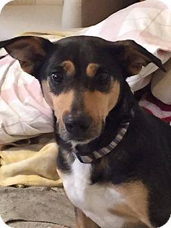 Hound (Unknown Type) Mix Dog for adoption in chicago, Illinois - Vessie