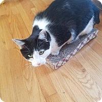 Domestic Shorthair Cat for adoption in Valley Park, Missouri - Luke