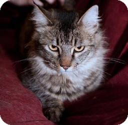 Maine Coon Cat for adoption in Yakima, Washington - Cindy
