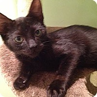 Adopt A Pet :: Jetson - Lap Cat - East Hanover, NJ