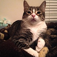 Domestic Shorthair Cat for adoption in Baton Rouge, Louisiana - Mary Ann