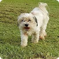 Adopt A Pet :: Starlight - San Antonio, TX