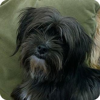 Yorkie, Yorkshire Terrier/Maltese Mix Dog for adoption in Seattle c/o Kingston 98346/ Washington State, Washington - Libby and Lizzy