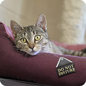 Domestic Shorthair Cat for adoption in South Haven, Michigan - Sophia