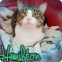 American Shorthair Cat for adoption in Odessa, Texas - Hamilton