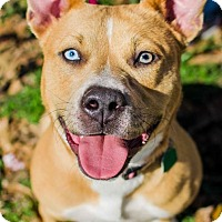 Pit Bull Terrier Mix Dog for adoption in Houston, Texas - Ginny