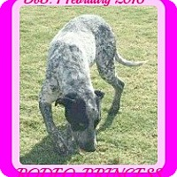 English Pointer/Australian Cattle Dog Mix Dog for adoption in White River Junction, Vermont - RODEO-Princess