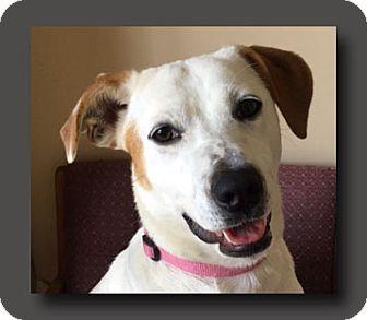 Labrador Retriever/Australian Cattle Dog Mix Dog for adoption in Wakefield, Rhode Island - Trudy