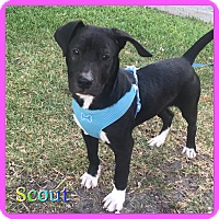 Adopt A Pet :: Scout - Hollywood, FL