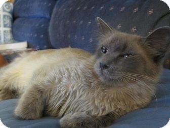 Siamese Cat for adoption in lake elsinore, California - Lila