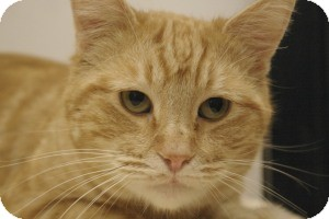 Domestic Shorthair Cat for adoption in Sacramento, California - Julius