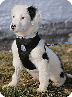 Collie/Terrier (Unknown Type, Medium) Mix Puppy for adoption in Mt. Prospect, Illinois - Clinton