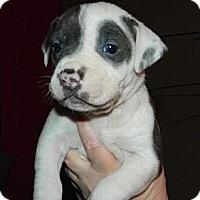 Adopt A Pet :: Blue and White Girls! - Seattle, WA