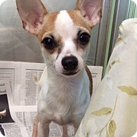 Adopt A Pet :: Manny - New York, NY