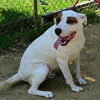 Pit Bull Terrier Dog for adoption in Rossville, Tennessee - Danno