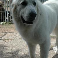 Adopt A Pet :: LuLu - Austin, TX